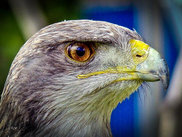 esmerejón (Falco columbarius)_