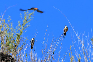 Banded martin and red-rumped swallows | by dmmaus