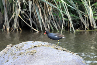 Common moorhen | by dmmaus