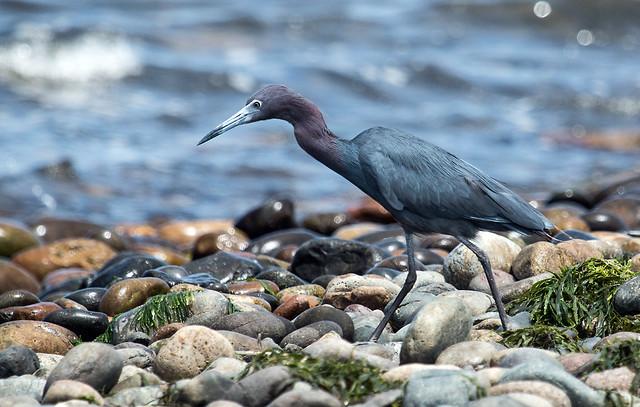 IMG_4737   Little Blue Heron