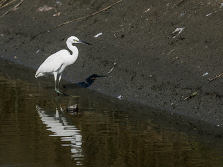 Chinese Egret | by nickathanas