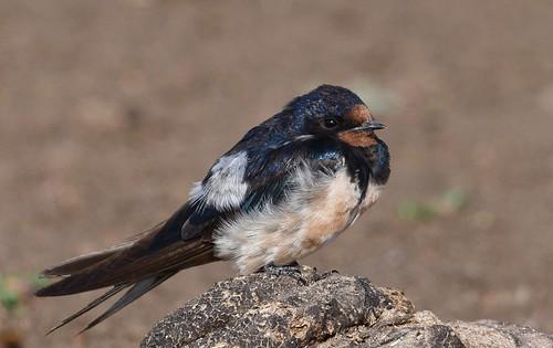 barnswallow hirundorustica thagaledam botswana