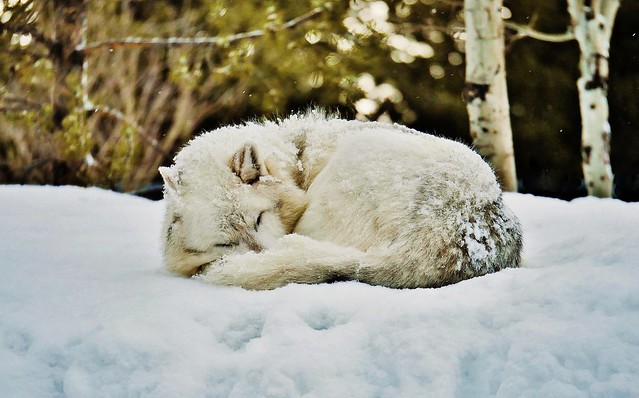 Sleeping Grey Wolf (Canis lupus lupus)