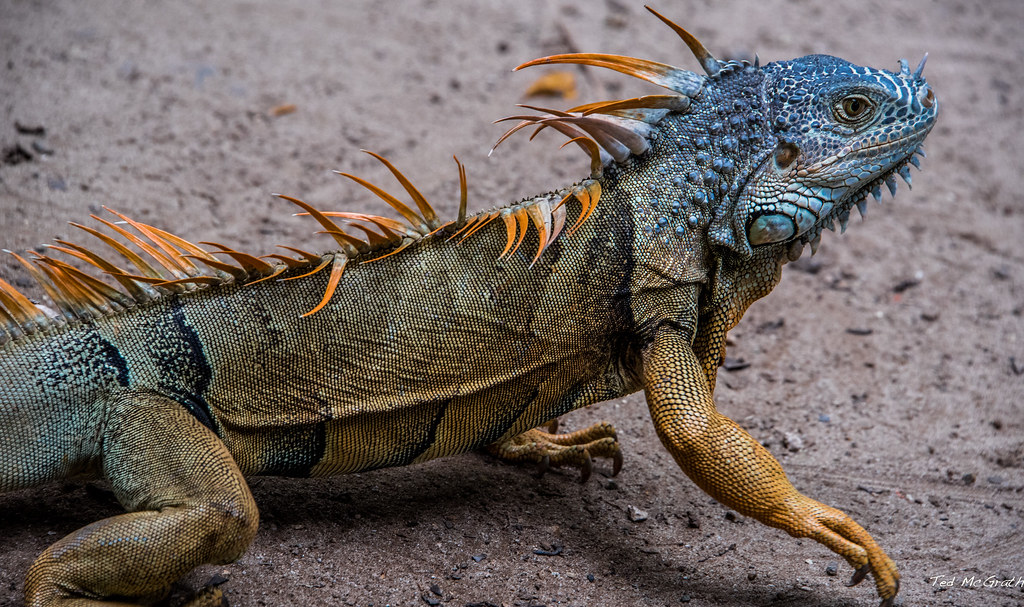 2018 - Mexico - Zihuatanejo - Iguana   And this brings to an
