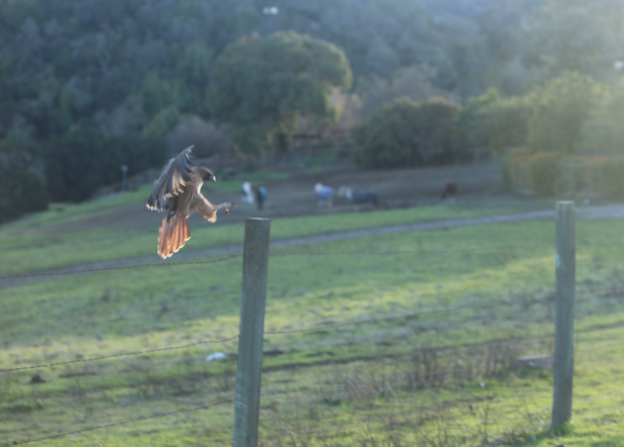 Red-tailed Hawk, Byrne Preserve, Los Altos Hills, CA