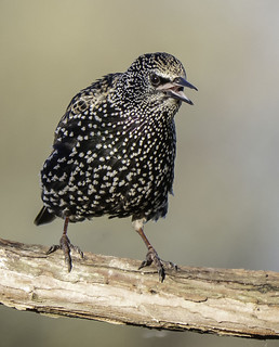 Starling3 | by ijwilki