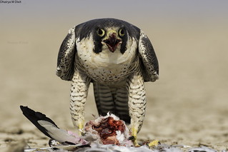 Peregrine Falcon feasting on a pigeon