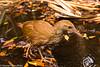 (Lord Howe Island) Woodhen by Stewart M