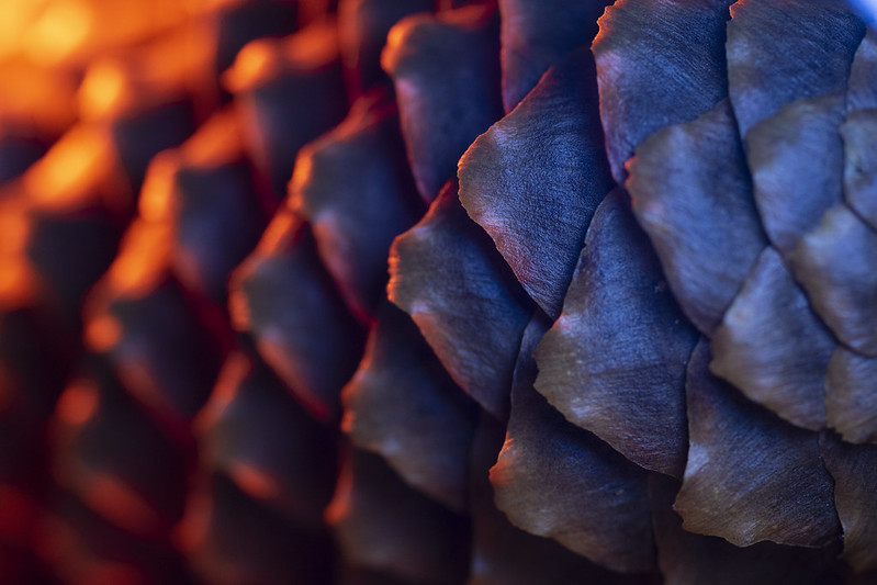 Pine Cone on Fire