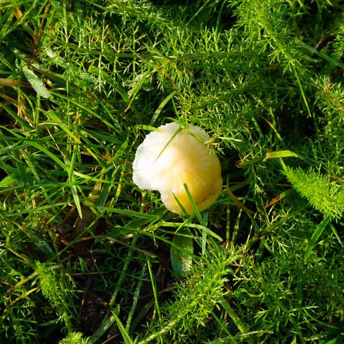 Single waxcap species mushroom, Upper Green, Tettenhall