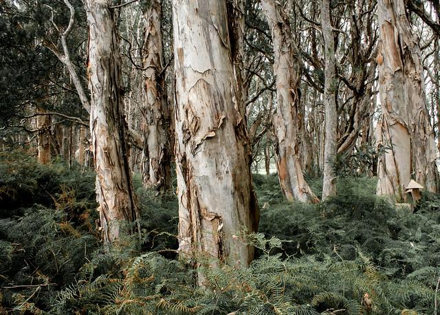 Australian Paper Barks