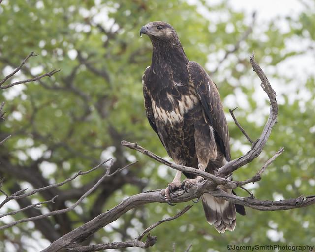 African Fish Eagle, (Juv), Haliaeetus vovifer, Hwange National Park, Zimbabwe