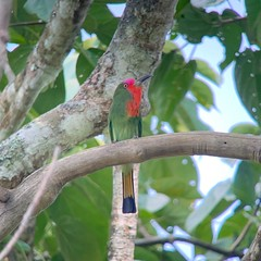 Red-bearded Bee-eater at Kaeng Krachan