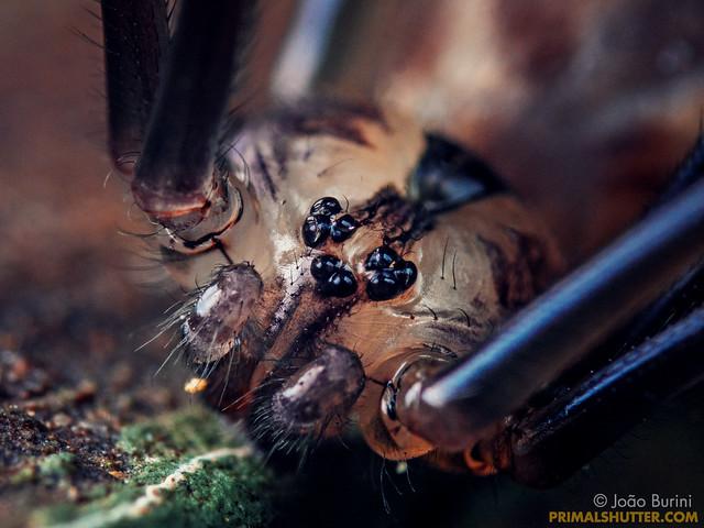 Pholcidae