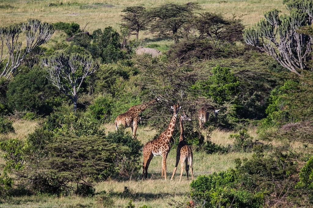 Girafe_septembrie 07_Maasai Mara_gradina