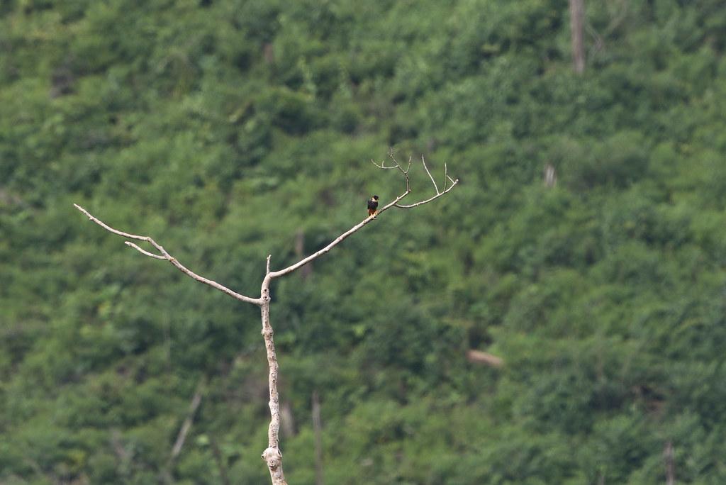 Bat Falcon, Plataforma, San Martin, Peru October 2018