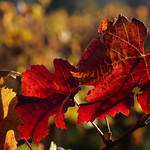 Mi, 01.11.17 - 16:13 - Vineyard, Weinberg, close up, Nahaufnahme, Blätter, leaves, Herbstfarben, autumn colors, Olympus PEN-F, m.zuiko 60mm macro