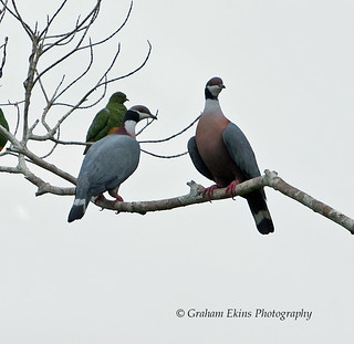 Collared Imperial-Pigeon, Black-collared Imperial Pigeon, Ducula mullerii, Endemic, | by Graham Ekins