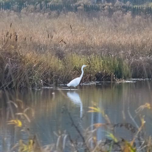 Great white egret wading, Doxey