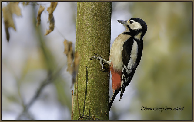 ♀ Great spotted woodpecker / ♀ Pic épeiche