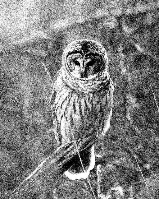 The Owl - 9331