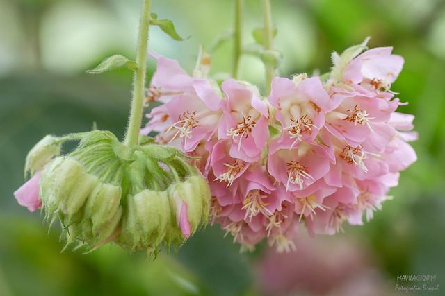 Astrapéia  ( Dombeya wallichii)  -  Pink-ball