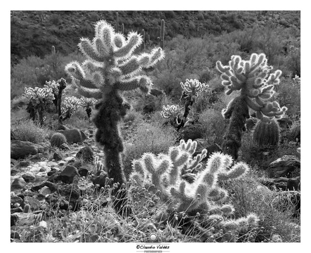 - The Cholla Forest at Dawn -