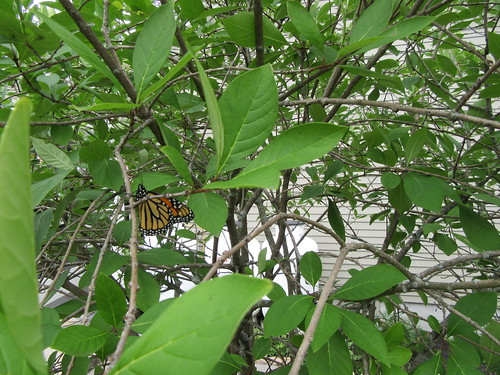 Monarch butterfly released | by tamworthlibrary