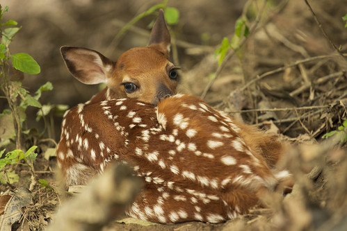 Photo of fawn resting in a forest