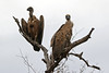 White-backed Vulture (Gyps africanus) by Ardeola