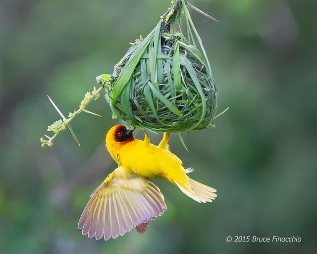 Male Vitelline Masked Weaver Building Nest