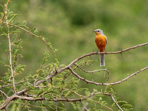 silverbirdepidornissemipartitus westernregion epidornissemipartitus silverbird nature uganda buliisadistrict ug