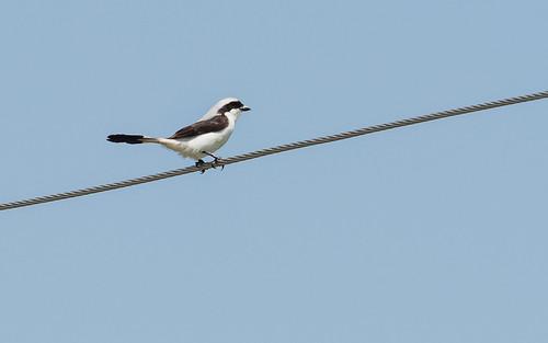 greybackedfiscal laniusexcubitoroides seenfromthecar westernregion eté greybackedfiscallaniusexcubitoroides nature uganda buliisadistrict ug