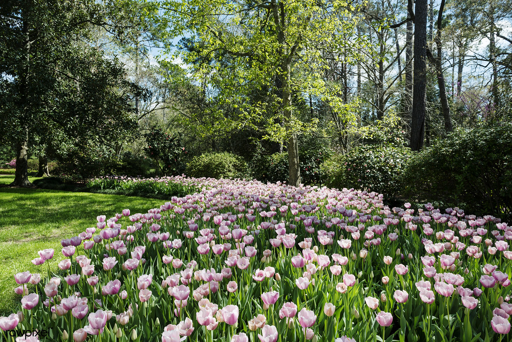 Tulips Pop In Late Winter At The Bayou Bend Collection And Flickr