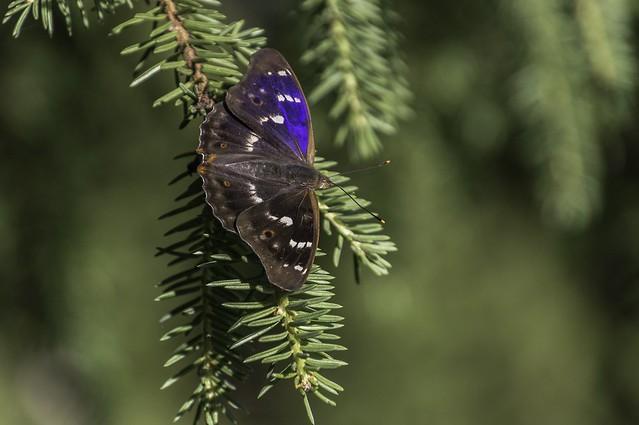 Väike-kiirgliblikas (Apatura ilia)