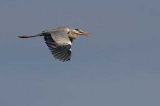 Grey heron | by kulukaya