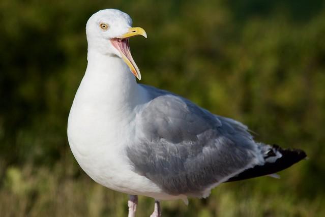 # Laughing Gull