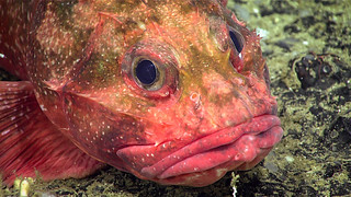 Spiny Rockfish | by NOAA Ocean Exploration & Research