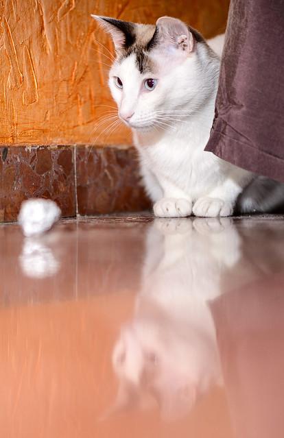 Blau, gato cruce Snowshoe nacido en enero´17 esterilizado, apto para gatos machos, en adopción. Valencia. 46157696352_c726988911_z