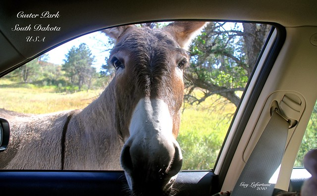 A BURRO ( Donkey ) in MY CAR WINDOW at the CUSTER PARK in SOUTH DAKOTA, UNITED STATES