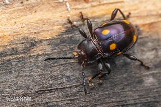 Handsome fungus beetle (Gerstaeckerus spurius) - DSC_8435