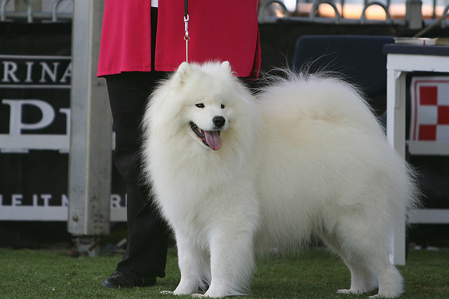 Samoyed competition at Sydney Royal Easter Show