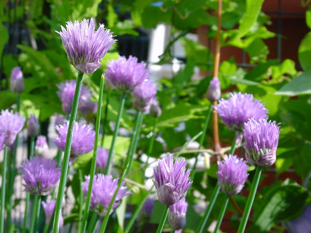 Fiori Erba Cipollina.Chives 2 Fiori Di Erba Cipollina Onion Grass Flowers Wildmax