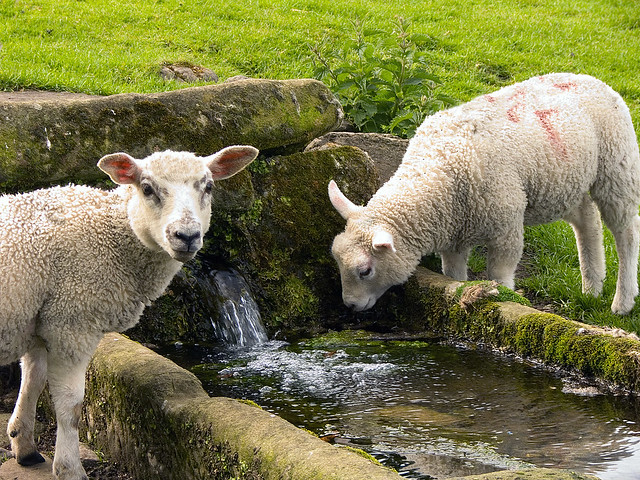 Jervaulx Sheep -  Can I Drink Water Now?