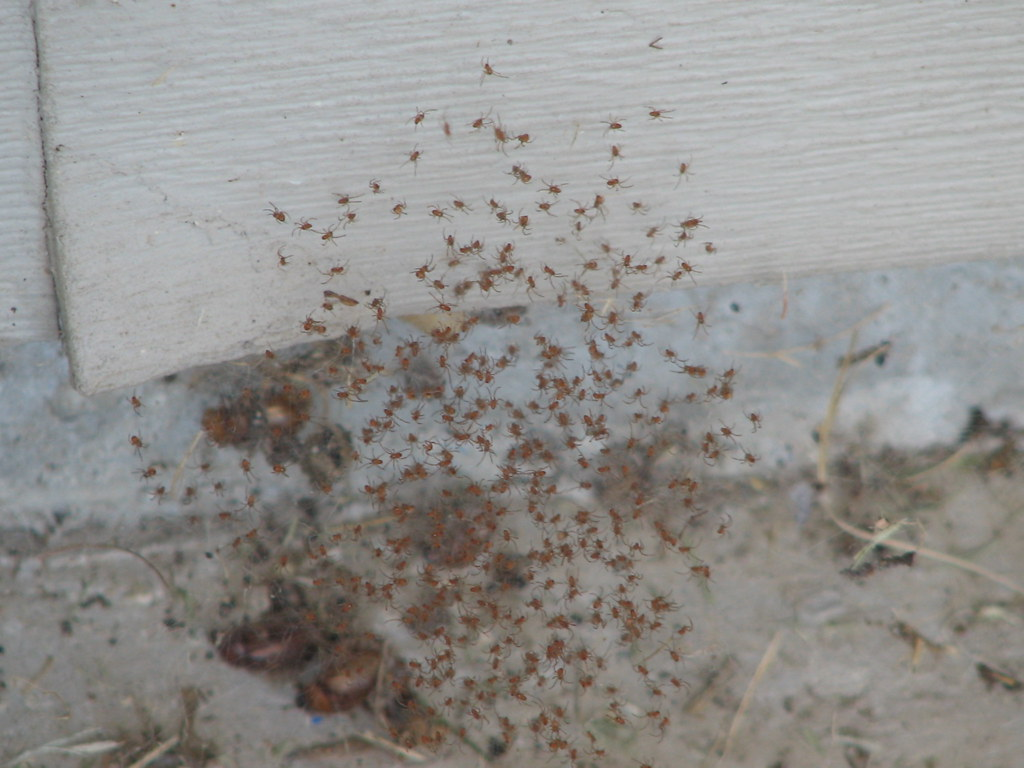 Baby Spiders In A Black Widow Nest I Am Not 100 Certain T