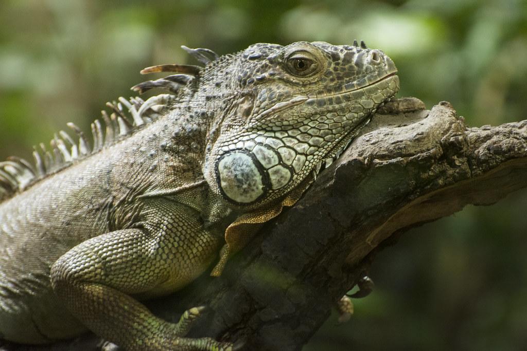 Iguana Legwan