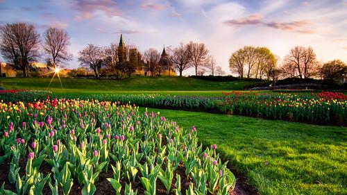 flowers canada netherlands festival sunrise spring tulips ottawa peacetower parliamentbuildings princessjuliana ottawacivichospital pentax1224mm pentaxk3