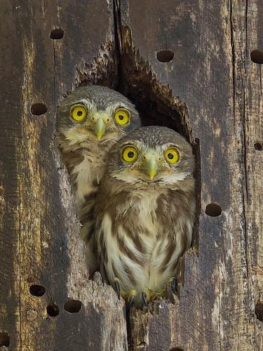 Ferruginous Pygmy Owl / glaucidium brasilianum