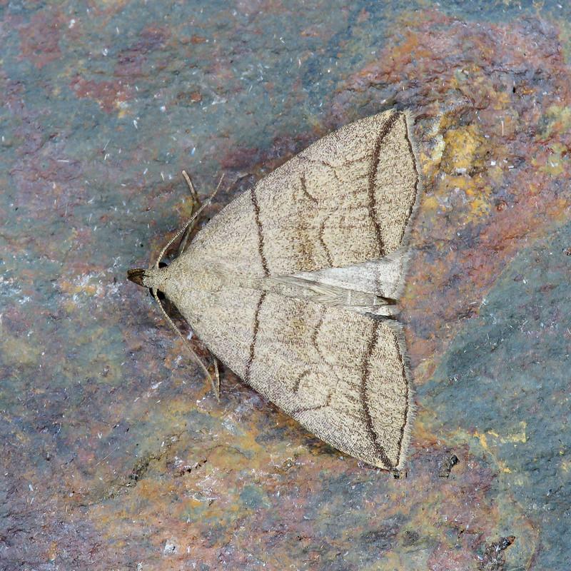 72.055 Small Fan-foot - Herminia grisealis