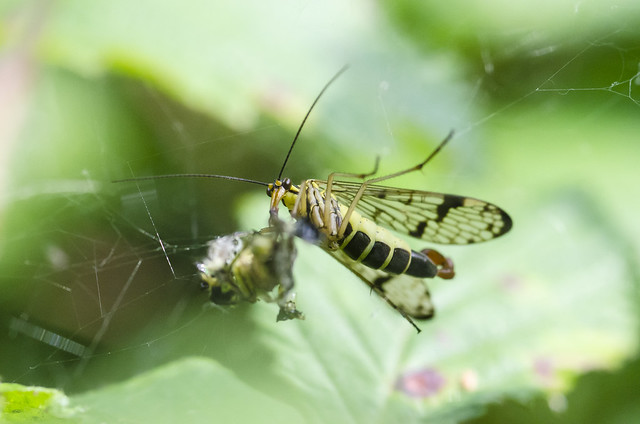 Scorpion fly (panorpa communis) 01